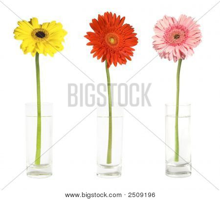 Three Gerbers In Vases