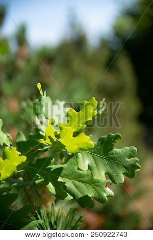 Oak Leaves In The Sunlight Against A Green Unfocused Forest. Stock Photo.