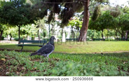 Nature concept. Pigeon on green meadow in a park, green bench, bokeh background, wallpaper.
