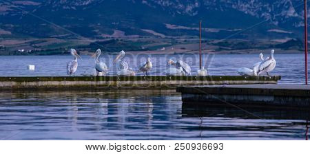 Wildlife concept. Flock of pelicans preening and resting on pier by the sea, wallpaper.