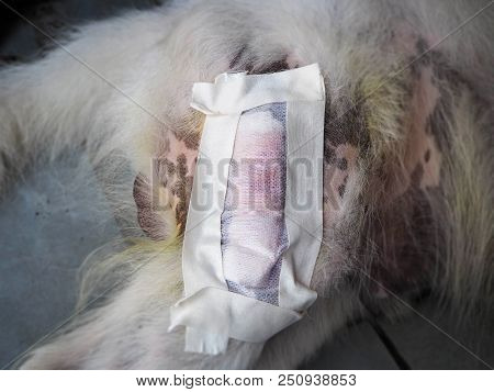 Closeup The Surgery Dressing On Dog Leg,cover The Wound After Surgery,