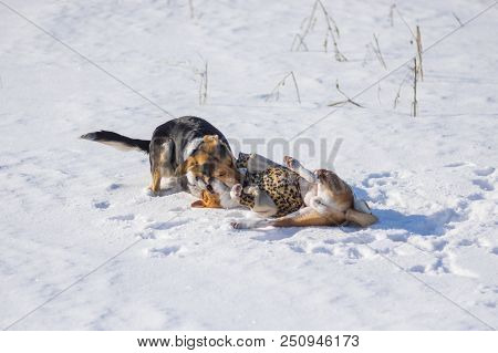 Black Female Dog Bites Basenji On The Neck While Playing On Winter Snow