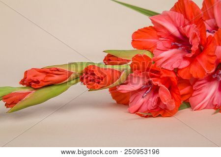 flower of varietal gladiolus red coral color with openwork edges on a light background poster