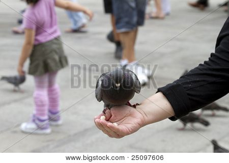 Pigeon Feeding On Hand