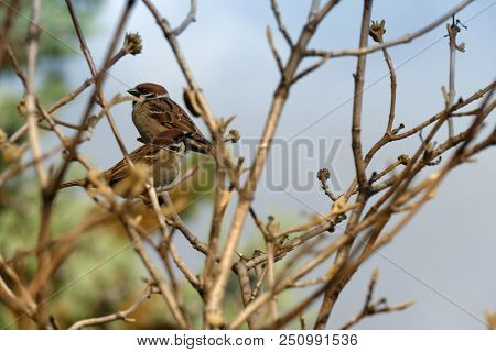 Sparrow. Couple Of Sparrows Sitting On A Tree Branch. Close Up.  Shallow Dof. Selective Focus On The