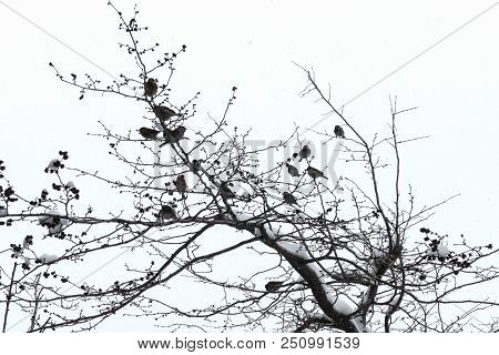 Sparrow. A Flock Of Sparrows Sitting On A Tree. Winter Time. Falling Snowflakes And Snow On The Bran