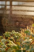 A dew covered web in the morning light with a spider at the center. poster