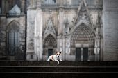 a dog at a Gothic building, a cathedral. A pet in the city. Traveling with Jack Russell poster