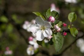 Apple-Tree Blossom