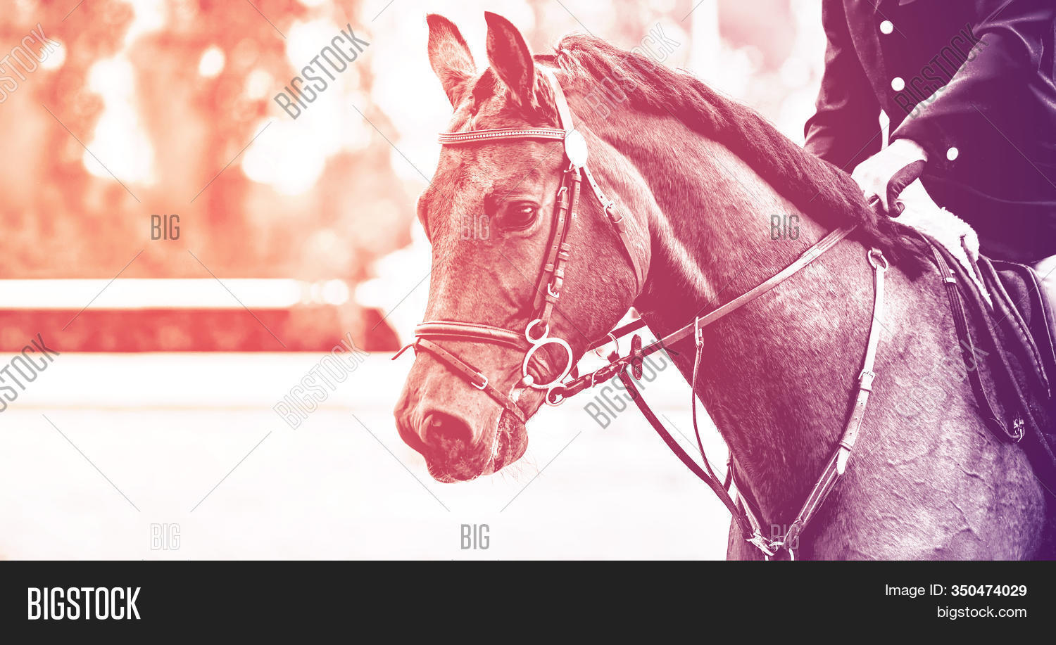 Black Dressage Horse Image Photo Free Trial Bigstock