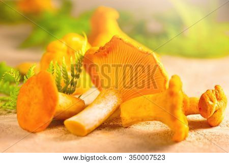 Chanterelle mushrooms, Raw wild chanterelles mushroom on rustic background close-up. Organic Fresh chanterelle on a table. Red mushrooms closeup. Soft focus. Vegan food
