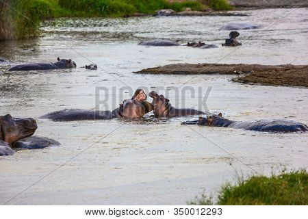 Flock of hippos in the lake. One of the largest mammals on earth is the hippo. Hippopotamus is the most dangerous beast in Africa to humans. Concept of exotic, extreme tourism and photo tourism