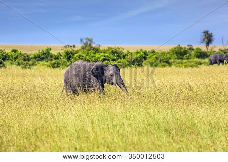 Africa. The Masai Mara Reserve in Kenya. Huge lonely elephant in the grass of the savannah. Elephants are the largest mammals. The concept ecological, exotic, extreme of and photo tourism