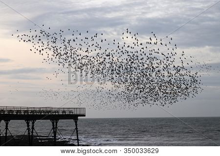 Starlings In A Flock Or Murmuration Gathering Above The Pier Under Which They Roost