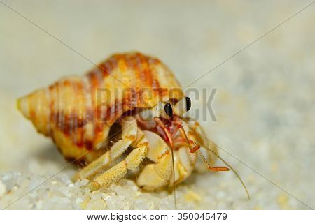 Close Up Of Cute Hermit Crab Carry Beautiful Shell Crawling On The White Sand Beach In Warm Sunlight
