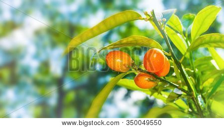 Summer background. Kumquat fruits in summer garden, closeup. Fortunella margarita kumquats, cumquats summer foliage and orange fruits on kumquat summer tree, summer garden background, free space for text