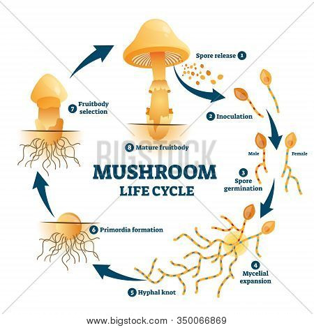 Mushroom Anatomy Life Cycle Stages Diagram, Vector Illustration Labeled Circular Scheme. From Spore