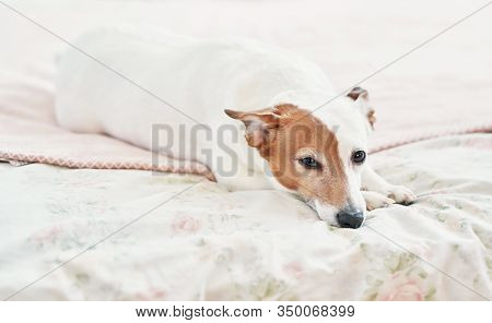 Dog Jack Russell Terrier On Bed. Happy Home Atmosphere Mood. Petfriendly (dogfriendly) Hotel. Dog Sl