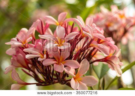 Branch Of Light Pink Frangipani Flowers. Blossom Plumeria Flowers On Green Blurred Background. Flowe