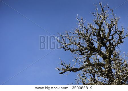 Old Clumsy Tree Covered With Moss Against A Blue Sky