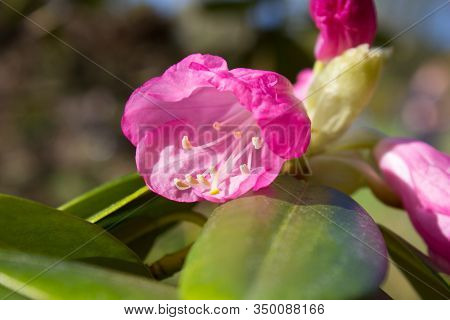 Rhododendron Catawbiense America, Blooms Flower Rhododendron, Catawba Rhododendron Cultivar, Rhodode