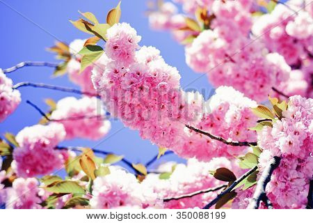 Cherry Blossom. Branches Of Blossoming Apricot Macro With Soft Focus On Sky Background. Sacura Cherr