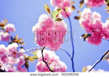 Cherry Blossom. Daisy Flower, Flowering Daisy Flowers In Meadow. Sacura Cherry-tree. Beautiful Flora