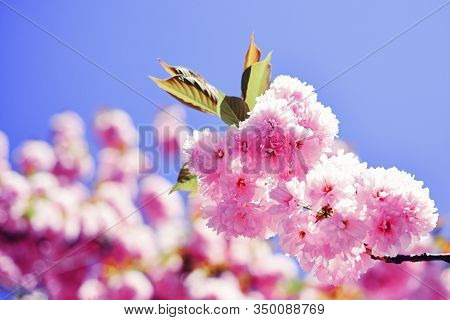 Sakura Festival. Cherry Blossom. Sacura Cherry-tree. Spring Flowers Pattern. Beautiful Floral Spring
