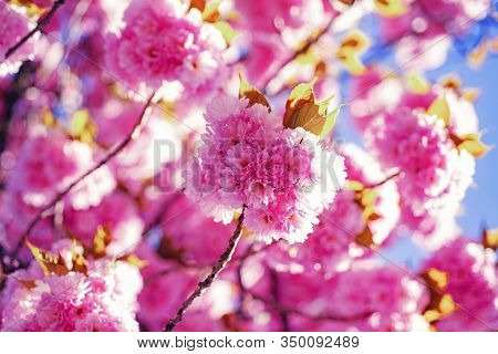 Cherry Blossom. Springtime. Spring Flowers With Blue Background And Clouds. Sacura Cherry-tree
