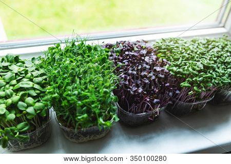 Kitchen Garden - Microgreens Growing On Windowsill