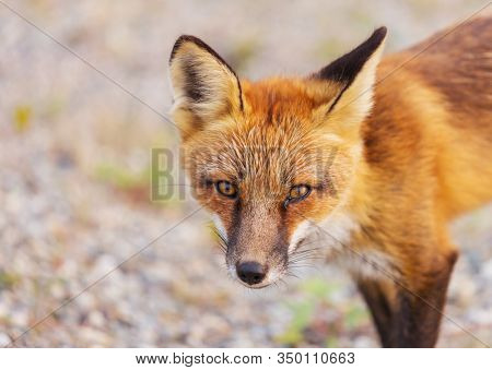 Portrait of a red fox (Vulpes vulpes) on a green background in summer season