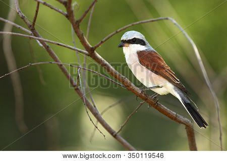 A Beautiful Brown Shrike (lanius Cristatus) Sitting On The Brown Dry Branch In Morning Sun. Songbird