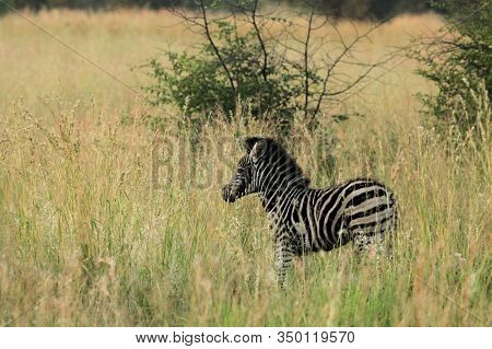 A Young Mountain Zebra (equus Zebra) In Grassland With Dry Grass In Background. Young Zebra In Pilan