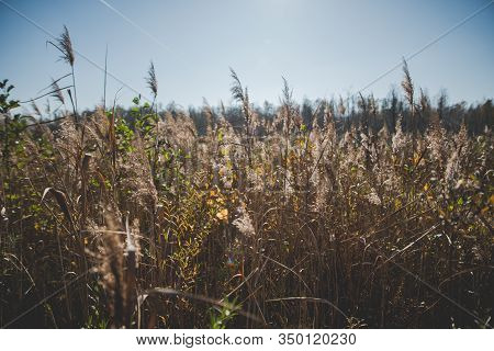 Swamps With Phragmites In Polesie