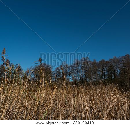 Phragmites Over A Blue Sky