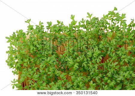 Garden Cress, Top View.  Young Cress, Lepidum Sativum, Growing From Cotton Wool, Flat Lay. Also Call