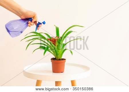 Young Woman Spraying Red Flower Guzmania Plant On White Coffee Table On Light Beige Background