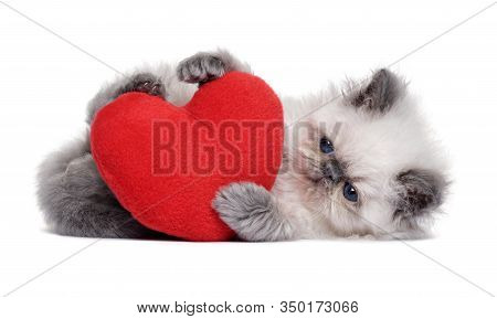 Little Persian Blue Colourpoint Kitten Playing With A Red Heart Plush Toy, Isolated On White Backgro