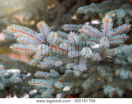 Snow-covered Branches Of Blue Spruce With Needles In The Sunset Light. Fir Branch In The Rays Of The