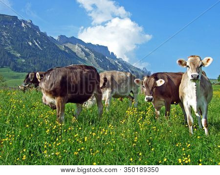 Cows On The Pastures Of The Slopes Of Alpstein Mountain Range And The Fertile Rhine River Valley (rh