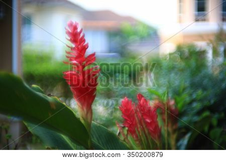 Alpinia Purpurata, Red Ginger, Also Called Ostrich Plume And Pink Cone Ginger. Native Malaysian Plan
