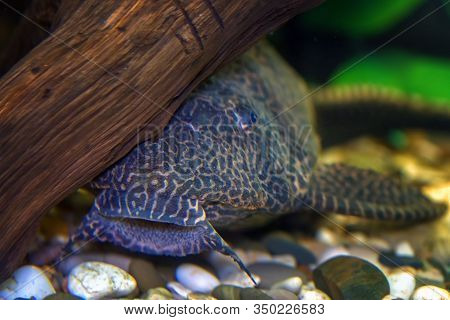 Spotted Brocade Catfish Pterigoplicht Under Snag. Selective Focus