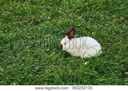 Decorative Breed Of Rabbits. Californian Rabbit With Red Eyes Sits On Green Grass