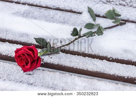 A Scarlet Rose Lies On A Park Bench In The Snow, Forgotten By Someone Because Of A Bad Date