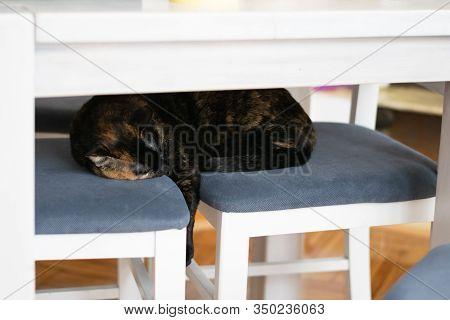 Close Up Of Tortoiseshell Cat. Tortoiseshell Cat Portrait. Close Up Of Tortoiseshell Cat Sleeping On