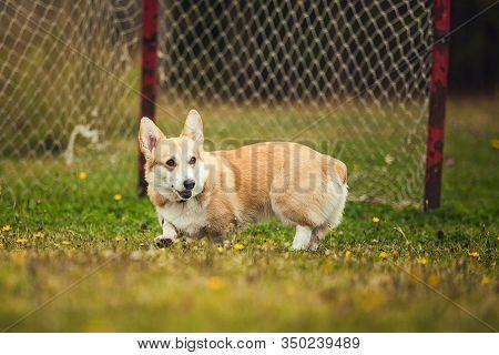 Corgi Running In The Parc, Against The Goalposts