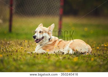 Corgi Couching On The Grass In The Parc
