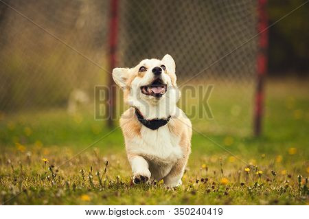 Red Corgi (dog) Running In The Parc