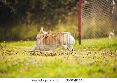 Corgi Running On The Grass In The Parc