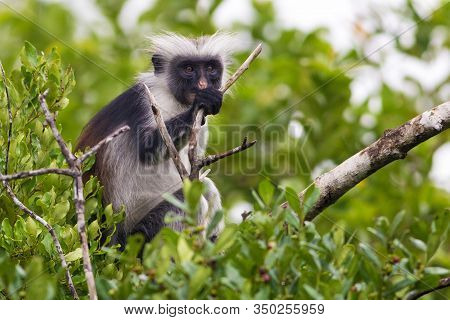Rare Endangered Red Colobus Monkey (piliocolobus Kirkii) Jozani Rainforest
